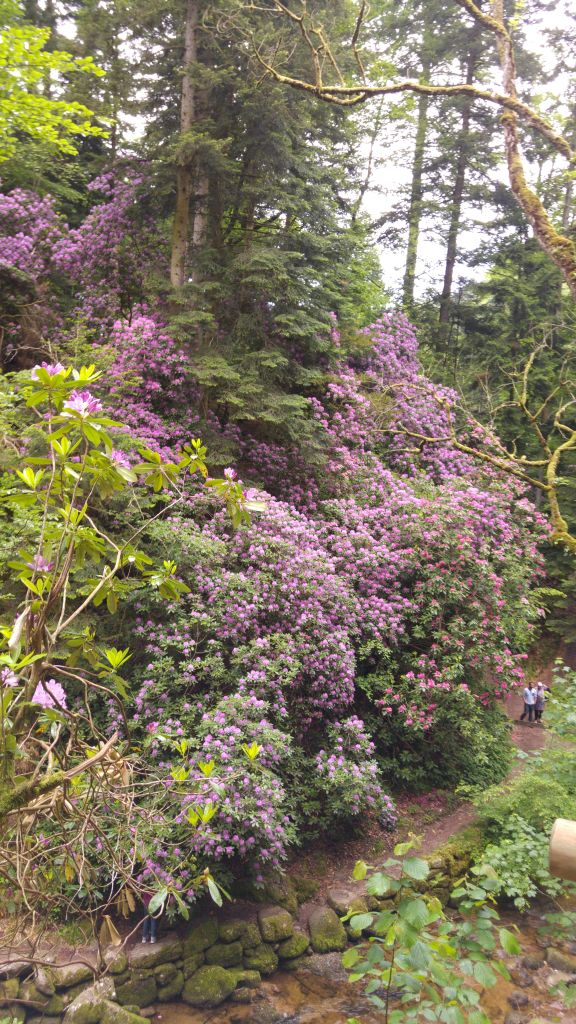 Rhododendronblüte in Geroldsau